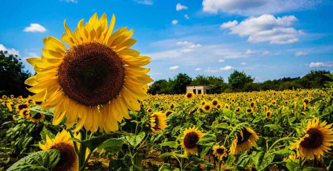 Sommerfoto Sonnenblumen