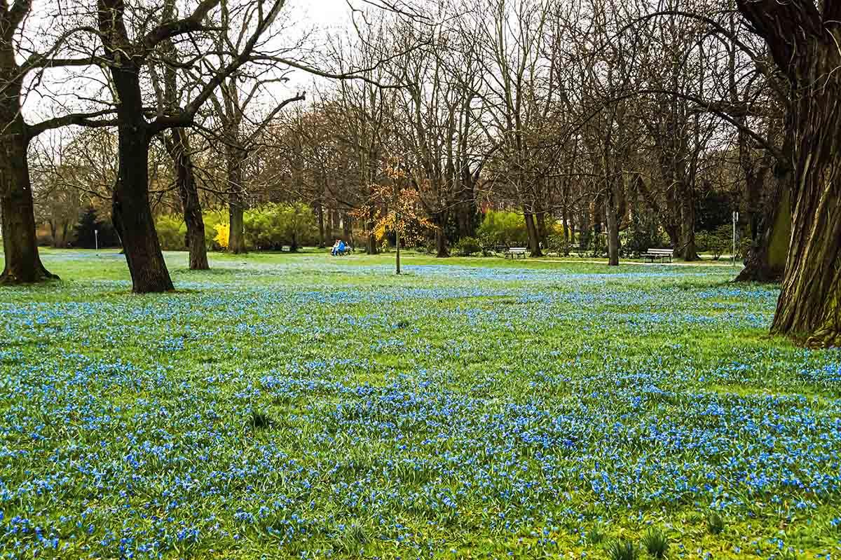Das blaue Frühlingswunder im Nordpark Magdeburg